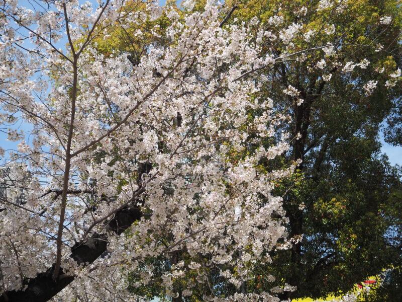 南堀江公園の桜